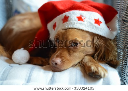 Spaniel breed dog with a red and white Santa Claus pointy cap on a pillow in a wicker chair looking at the camera