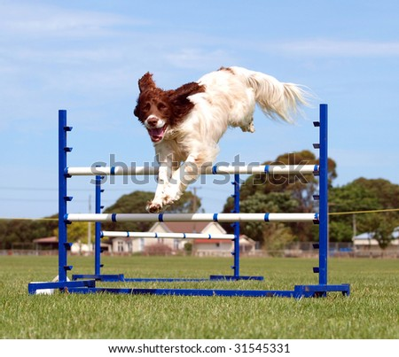 Spaniel competing in an agility competition - stock photo