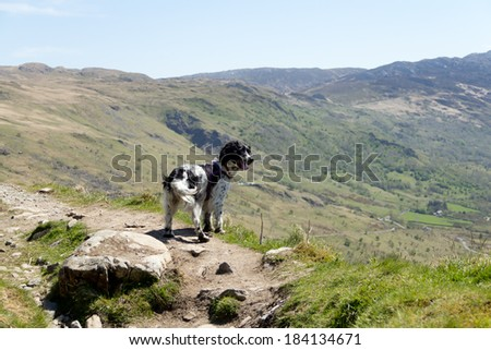 Spaniel dog stands high up in Snowdonia mountains appearing to look at the wonderful view. - stock photo