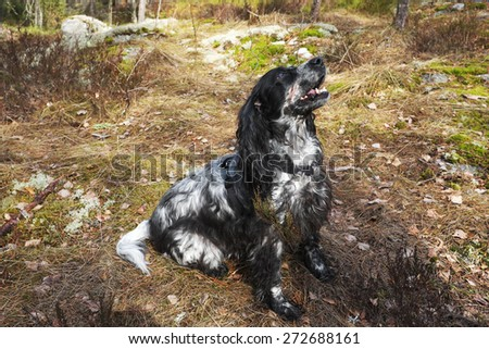 Spaniel in spring forest on the hunt - stock photo