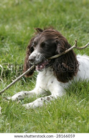 Spaniel lies in the summer sun chewing her bone - stock photo