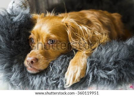 Spaniel mixed breed dog resting relaxed on a fluffy sheepskin rug
