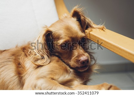 Spaniel mixed breed dog rests relaxed on cantilever armchair