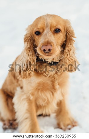 spaniel outside in winter