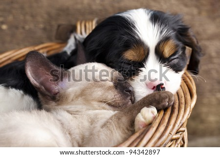 spaniel  puppy and kitten - stock photo