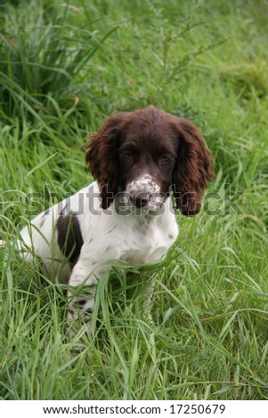 Spaniel puppy sits in the grass - stock photo