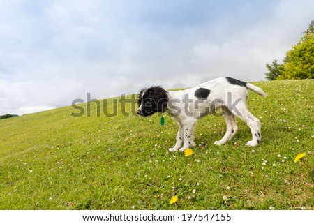 spaniel puppy standing on grassy bank in english countryside. - stock photo