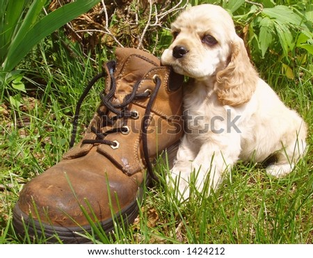 spaniel puppy tired out from playing with old work boot (6 weeks old champion stock) - stock photo