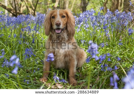 Spaniel resting in bluebell wood