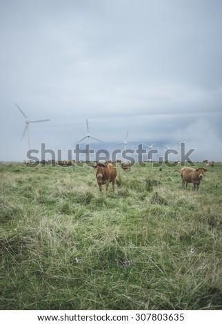 Spanish cows and wind turbine, Galicia, Spain - stock photo