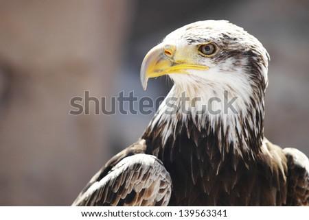 Spanish Imperial Eagle portrait close-up - stock photo