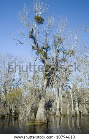 spanish moss and mistletoe in cypress tree - stock photo