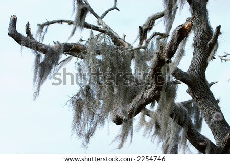 Spanish moss hanging from an expired Southern Live Oak tree - stock photo