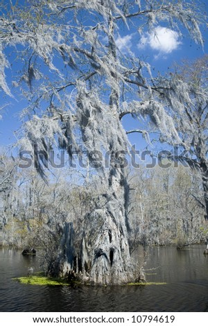 spanish moss hangs from cypress tree in bayou