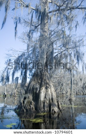 spanish moss hangs from cypress tree in swamp - stock photo