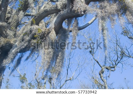 spanish moss hangs from old cypress tree - stock photo