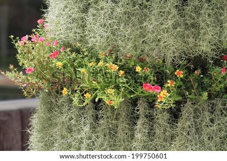 Spanish moss in garden - stock photo
