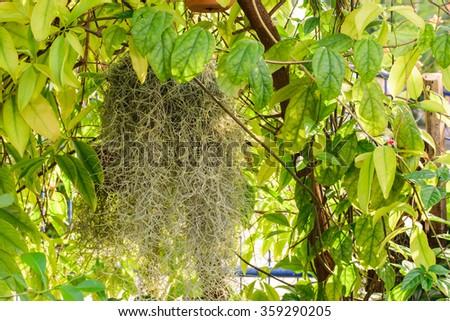 Spanish moss in the garden,home,thai,korat,daylight - stock photo