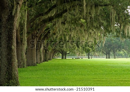 Spanish Moss on row of trees near Madeira Beach Florida - stock photo