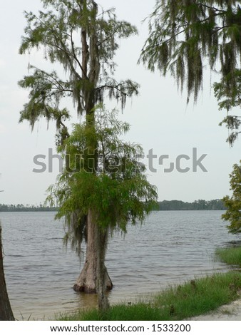 spanish moss on tree