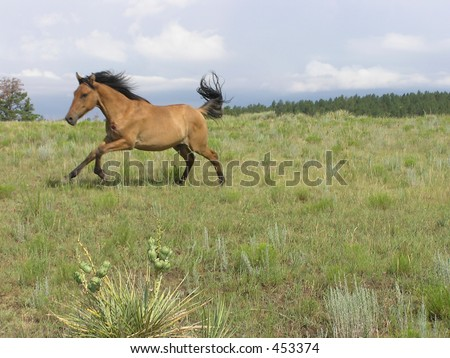 Spanish Mustangs in Gallop - stock photo