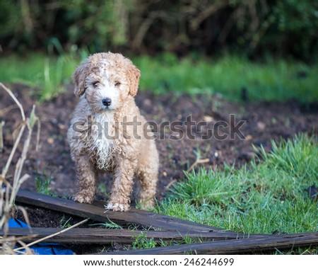 Spanish Water Dog Puppy - stock photo