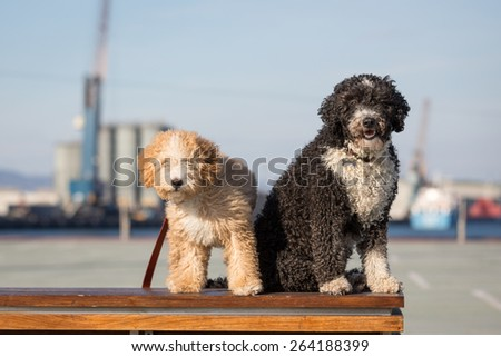 Spanish Water Dogs - stock photo