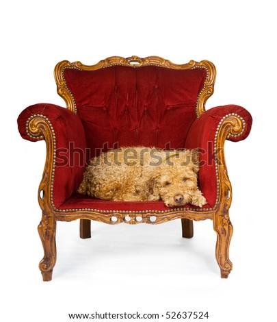 Spanish waterdog sleeping in red velvet couch, shot over white. - stock photo