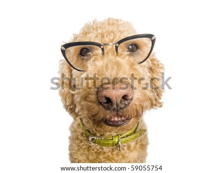 Spanish waterdog wearing cat-eye glasses, shot over white - stock photo