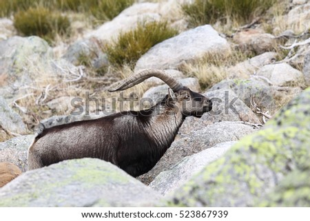 Spanish wild Goat - Mating season