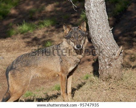 Spanish wolf Cannis lupus  signatus - stock photo