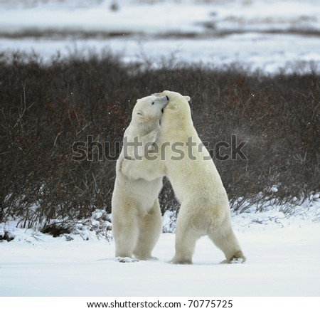 Sparing. The polar bears fighting on snow which have got up on hinder legs.The bear has seized a mouth by a throat of the opponent. - stock photo