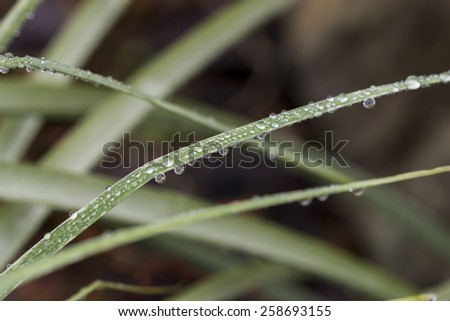 Sparkling fresh dewdrops or raindrops suspended in droplets from a blade of green grass with selective macro focus - stock photo