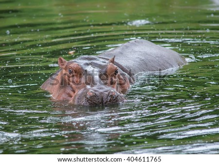 Sparring Hippo - stock photo