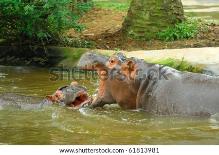 Sparring Hippos - stock photo