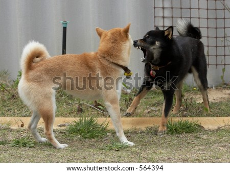Sparring Shibas - stock photo