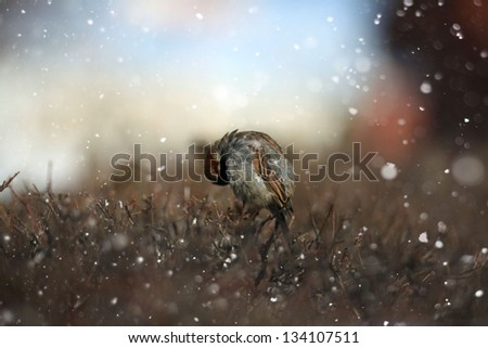 Sparrow and branch, a little bird in the snow, weather, wind - stock photo