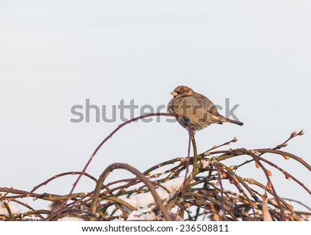 Sparrow bird on the twig in winter - stock photo