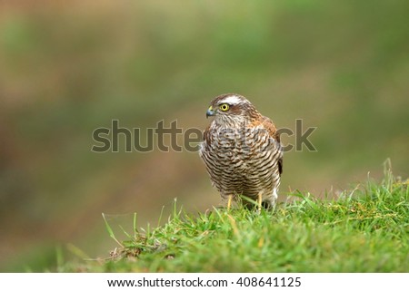 Sparrow hawk (Accipiter nisus) in natural habitat - stock photo