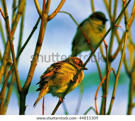 Sparrow in the evening time - stock photo