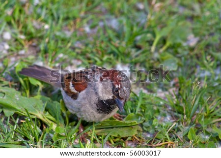 sparrow in the grass in summer - stock photo