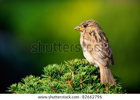 Sparrow in the park of Lugano city - stock photo