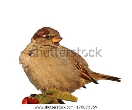 Sparrow isolated on white background, House Sparrow, Passer domesticus