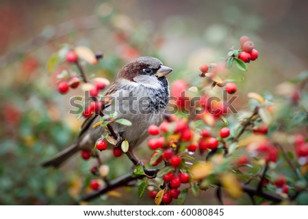 sparrow on a branch with red berries - stock photo