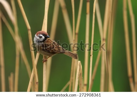 Sparrow on a reed