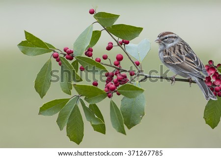 Sparrow on American Holly Branch - stock photo
