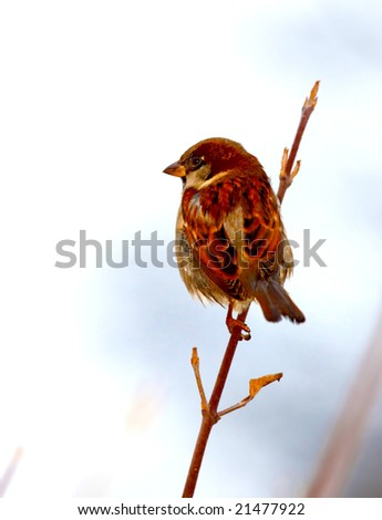 Sparrow on sprig - stock photo