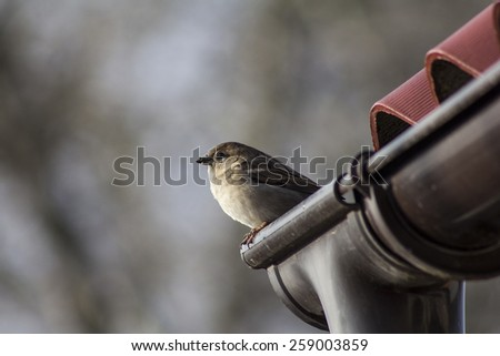 Sparrow on the roof - stock photo