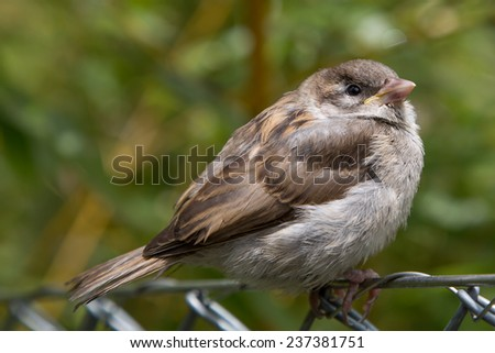 sparrow on wire mesh fence - stock photo