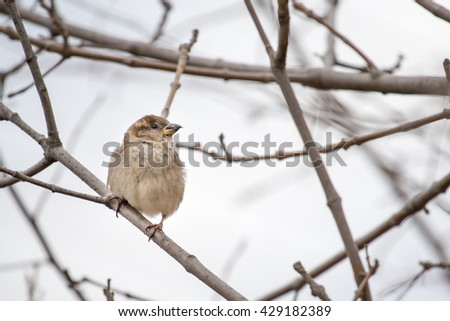 Sparrow or  Passeridae. Small gray bird perched on a dried tree branch due to winter weather. - stock photo